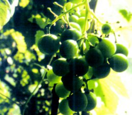 Grapes in the Garden Alma de l'Aigle